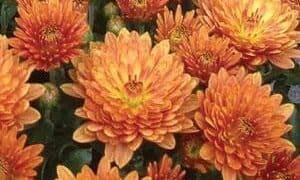 Garden-Mum-Paradiso-Bronze - QT Pot (Annual)