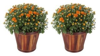 3 Qt. Ready to Bloom Fall Mums Chrysanthemum (2-Pack), Orange