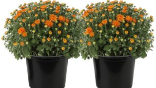 Delray Plants 3.0-QT Chrysanthemum ( Orange flowers) in Bushel Basket - Fall Harvest Mum - 2 pack...